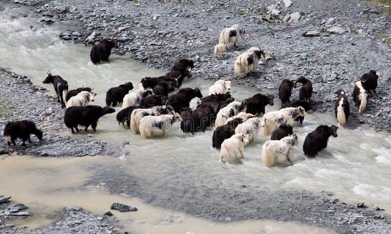 Herd of yaks passes through the mountain river stock photo