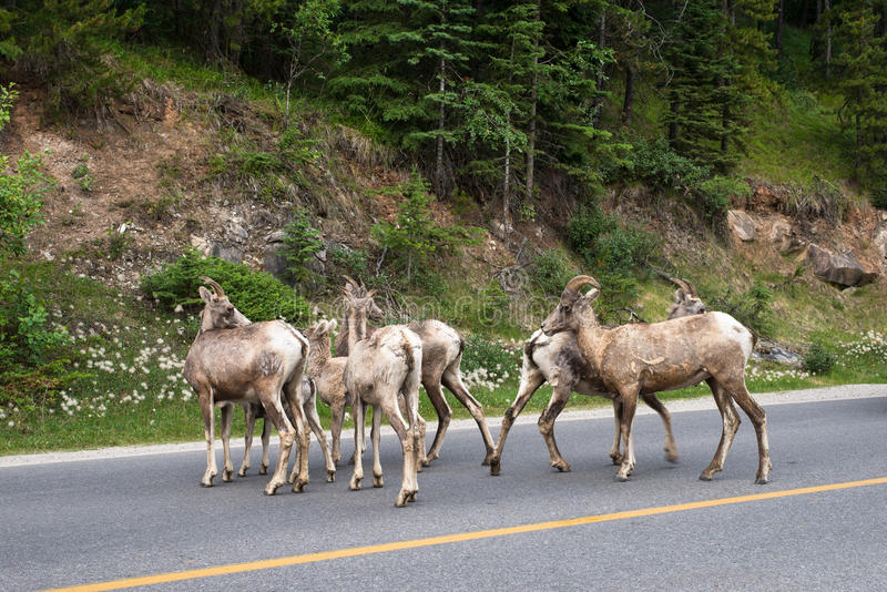 Herd of young bighorn sheep crossing on highway. A group of young bighorn sheep crossing on highway in Banff, AB, Canada. taken in July, 2014 stock photography