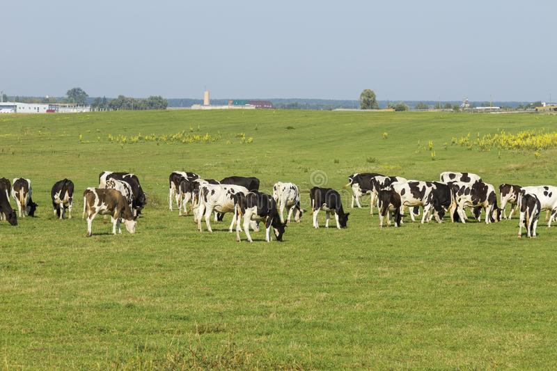 A herd of young cows and heifers grazing in a lush green pasture of grass on a beautiful sunny day. Black and white cows in a stock photography