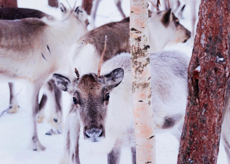 Herd of young reindeers with small horns winter farm in Rovaniemi, Lapland, Northern Finland stock photos