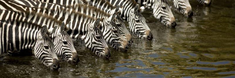 Herd of zebra. At Masai mara Kenya stock photo