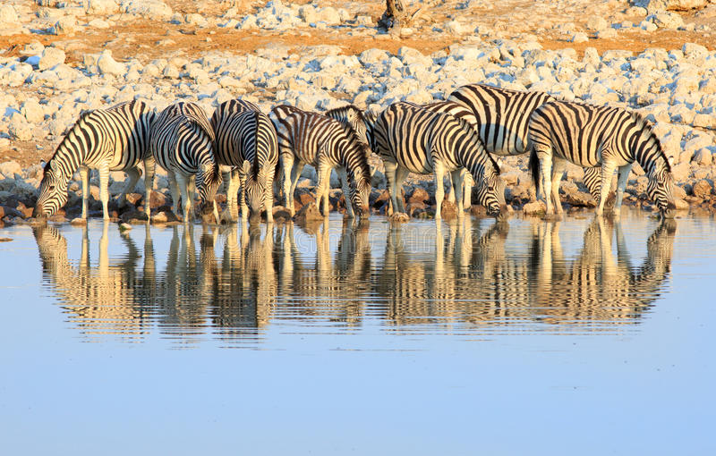 Herd of zebra drinking from a waterhole. A herd of common zebra drinking from a waterhole with good natural water reflection stock photography
