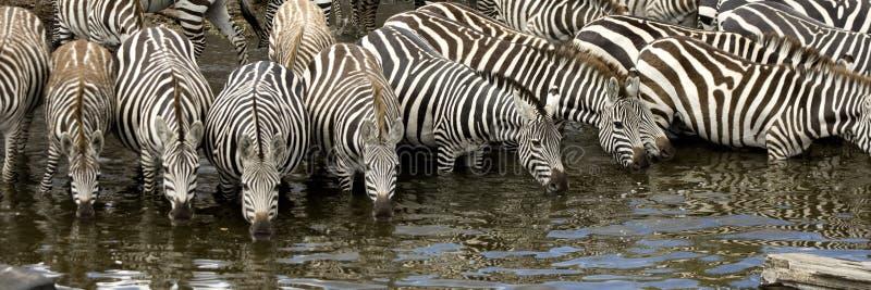 Herd of zebra at Masai mara Kenya. Drinking stock photos