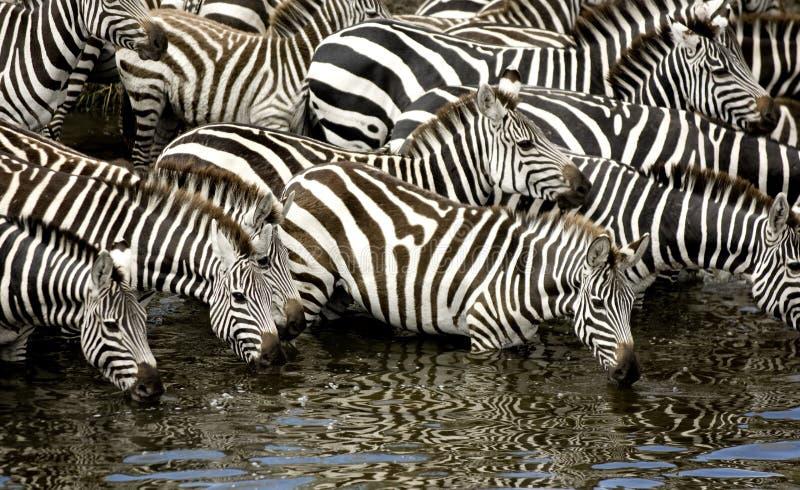 Herd of zebra at Masai mara Kenya. Drinking stock image