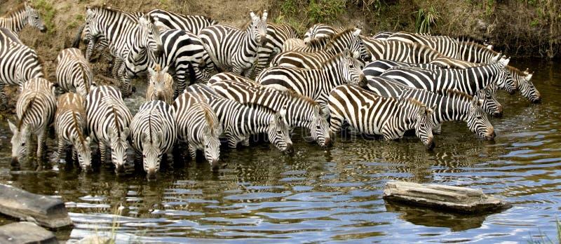 Herd of zebra at Masai mara Kenya. Drinking royalty free stock images