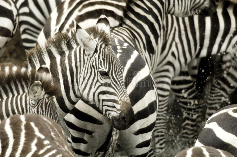 Herd of zebra at Masai mara Kenya. Drinking royalty free stock image