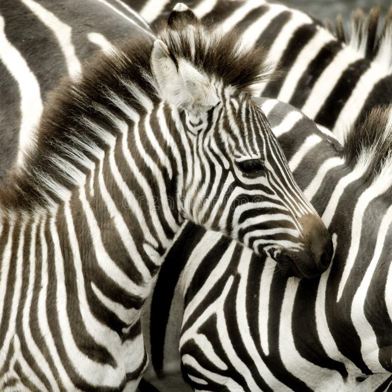 Herd of zebra at Masai mara Kenya. Walking royalty free stock images