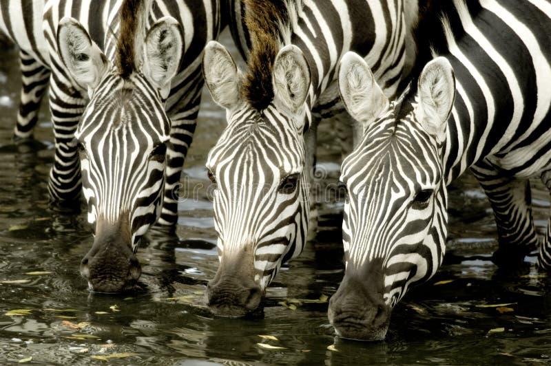 Herd of zebra at Masai mara Kenya. Drinking stock images