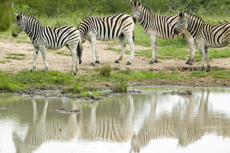Herd of Zebra reflected at watering pond in Umfolozi Game Reserve, South Africa, established in 1897 stock images