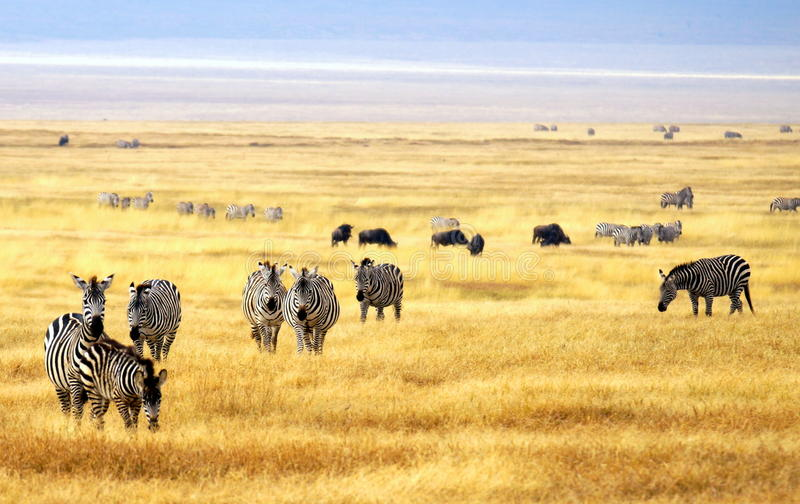 Herd of zebra's at a national park in Africa royalty free stock photos
