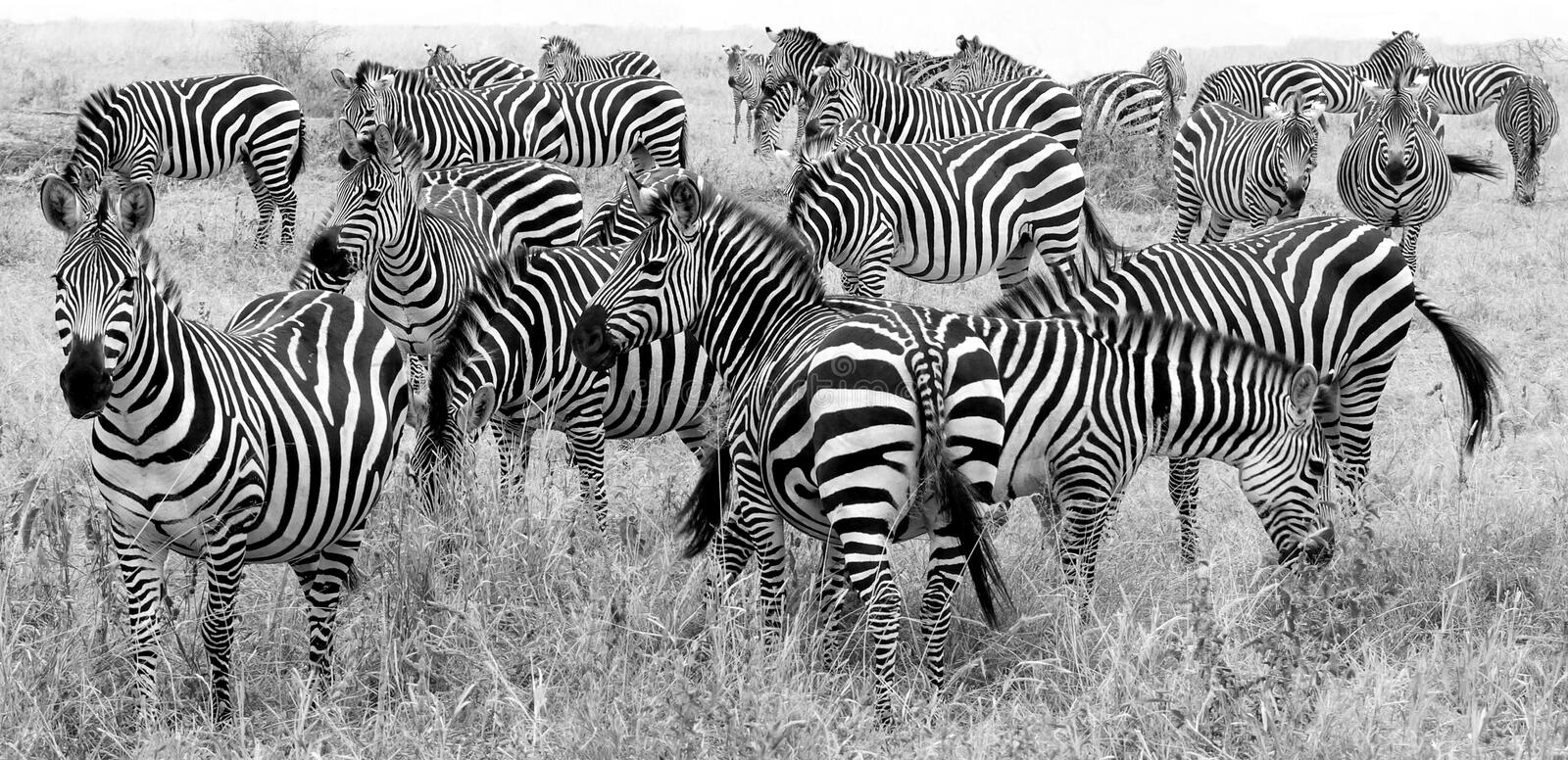 Herd of zebra's at a national park in Africa royalty free stock photo