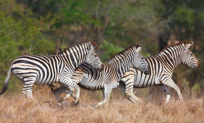 Herd of zebras (African Equids) stock photography