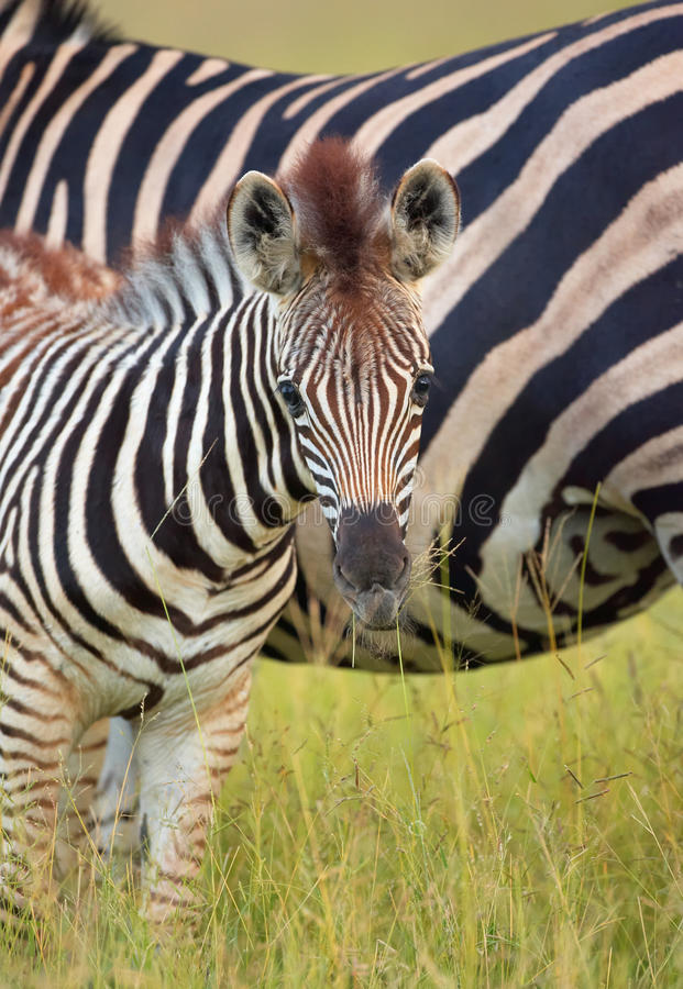Download Herd Of Zebras (African Equids) Stock Image - Image: 12188315