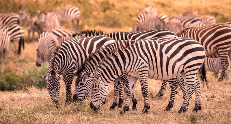 Herd of zebras in african savannah. Zebra with pattern of black and white stripes. Wildlife scene from nature in Africa. Safari in royalty free stock image