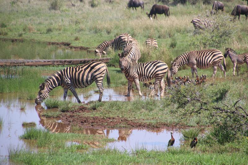 Herd of Zebras on Body of Water With Grass royalty free stock photo