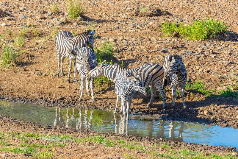 Herd of Zebras drinking from Shingwedzi river. In the Kruger National Park, major travel destination in South Africa royalty free stock images