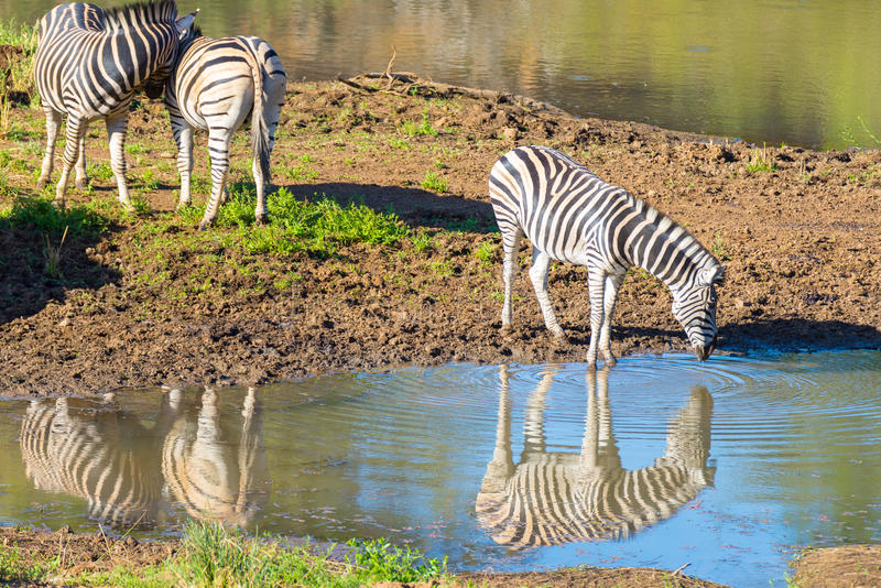 Herd of Zebras drinking from Shingwedzi river. In the Kruger National Park, major travel destination in South Africa stock photos