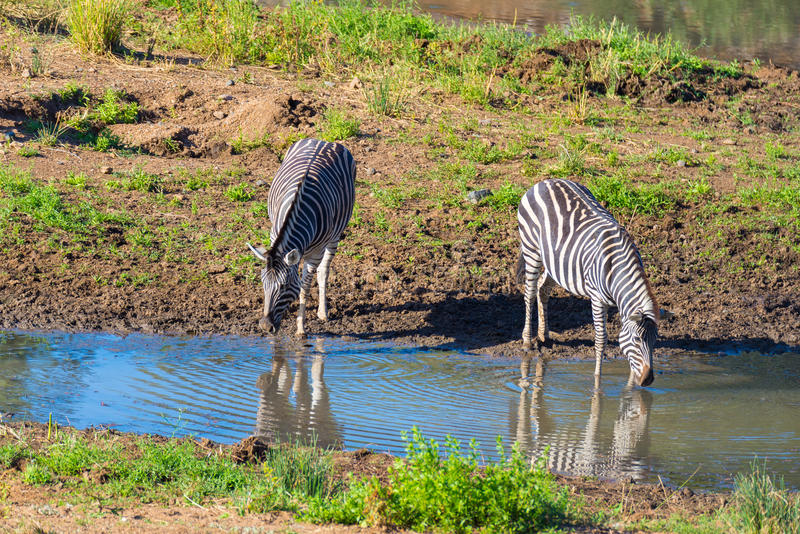 Herd of Zebras drinking from Shingwedzi river. In the Kruger National Park, major travel destination in South Africa royalty free stock photo