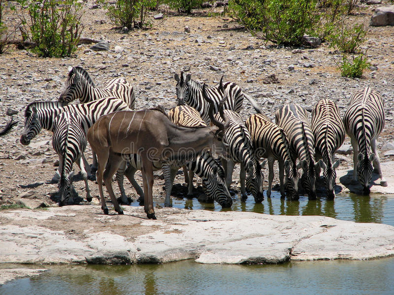 Herd of zebras drinking water. Herd of zebras at watering place in Etosha national park, Namibia, with kudu in front royalty free stock photography