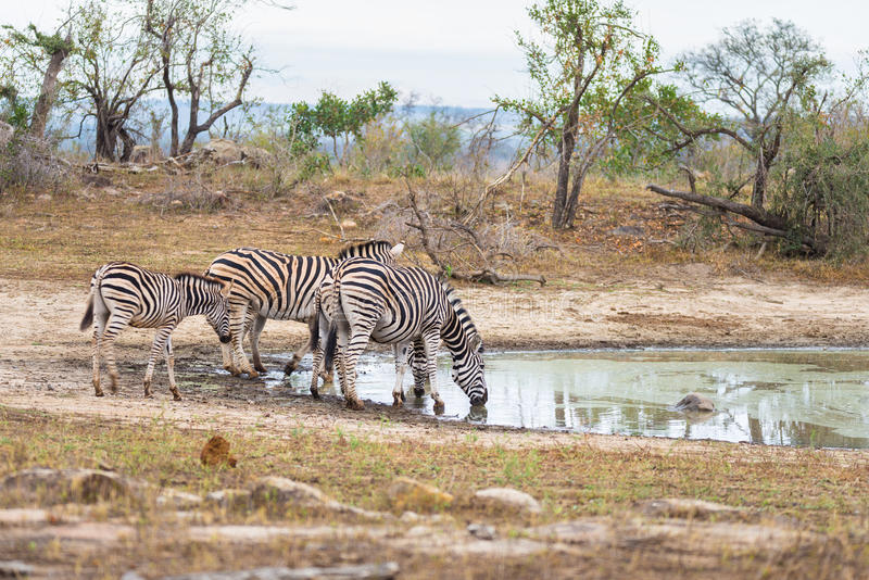 Herd of Zebras drinking from waterhole in the bush. Wildlife Safari in the Kruger National Park, major travel destination in South. Africa stock photo