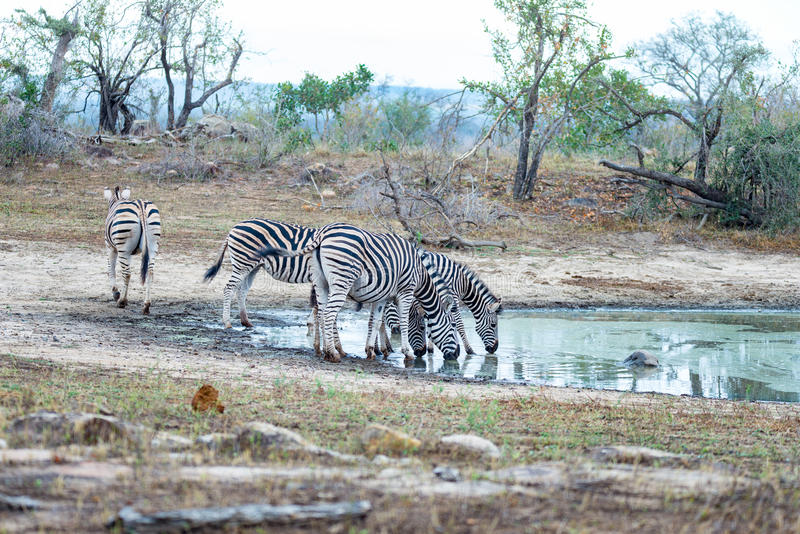 Herd of Zebras drinking from waterhole in the bush. Wildlife Safari in the Kruger National Park, major travel destination in South. Africa royalty free stock photography