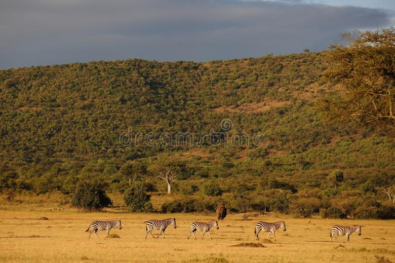 Herd of zebras and an elephant waling on a field with the tree covered hill in the background stock photography