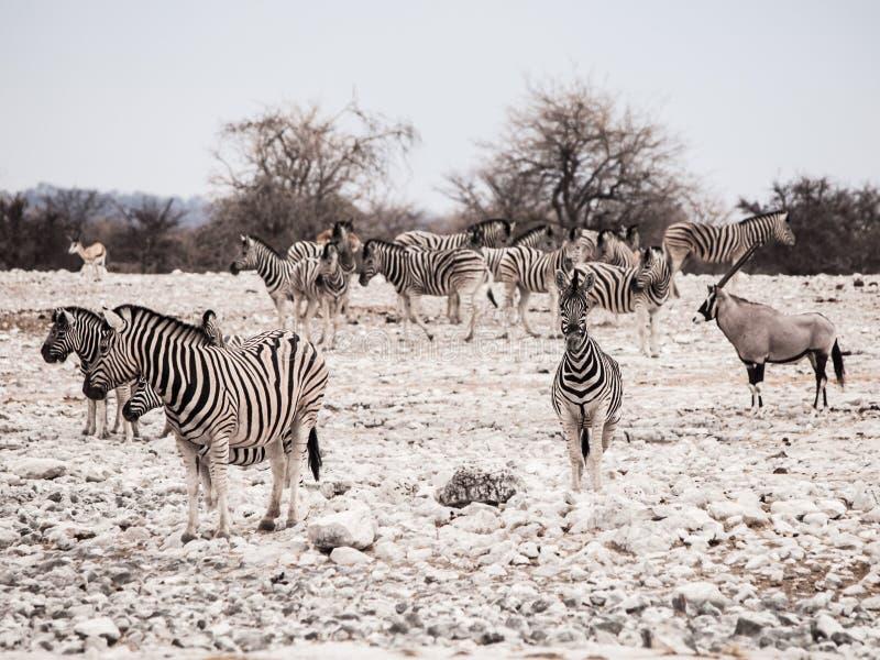 Herd of zebras. And one gemsbok antelope, Etosha National Park, Namibia stock images