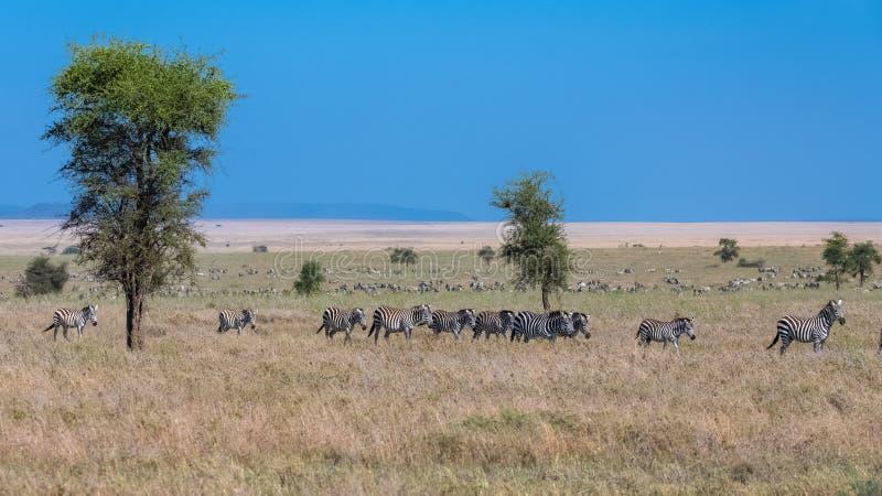 Herd of zebras in the savannah stock photos