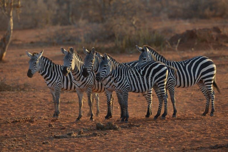 Herd of Zebras in Savannah. Herd of Zebras at the watering hole in Kenya royalty free stock photos