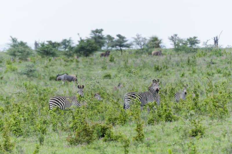 Herd of zebras in Selous stock photo