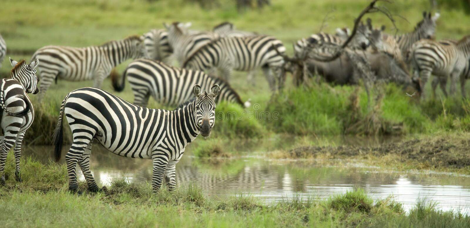 Herd Of Zebras In The Serengeti Plain Royalty Free Stock Photography