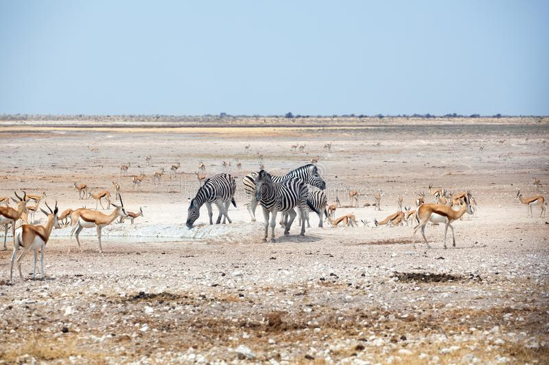Herd of zebras and springbok antelopes drinks water from drying out lake on white Etosha pan land, Namibia, Southern Africa. Herd of zebras and springbok royalty free stock photos