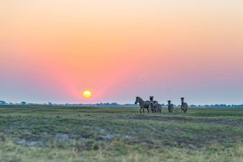 Herd of Zebras walking in the bush in backlight at sunset. Scenic colorful sunlight at the horizon. Wildlife Safari in the african. National parks and wildlife stock image