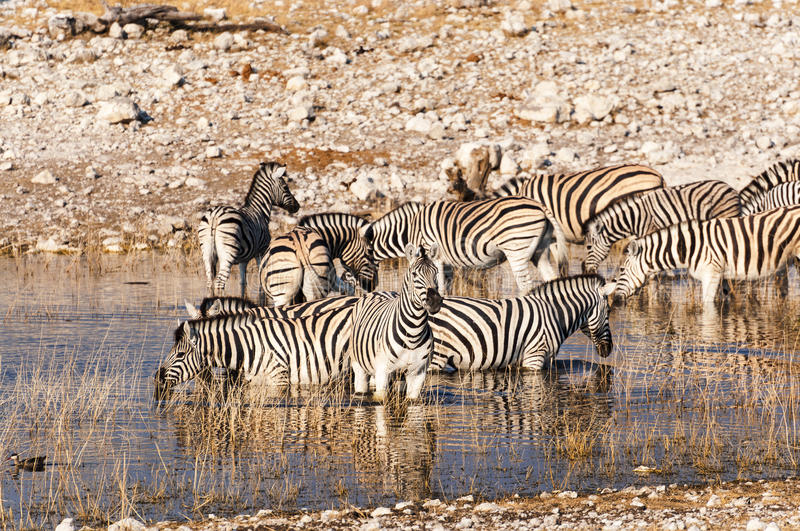 Herd of Zebras in a waterhole in Namibia royalty free stock photo