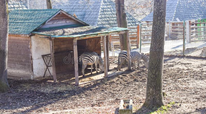 Herd of zebras in the ZOO. Of Sibiu city in a sunny spring day stock photos