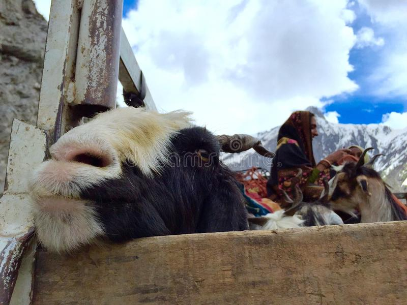 Herdar som transporterar getter över det Zojila passerandet royaltyfria foton
