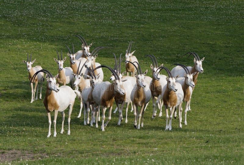 Herde der Antilopen lizenzfreie stockfotografie