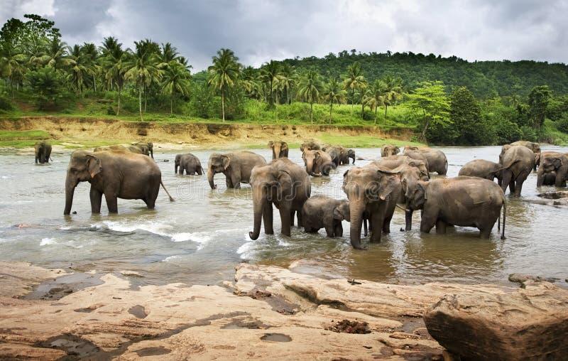Herde der Elefanten lizenzfreies stockfoto