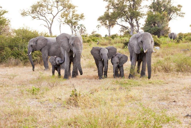 Herde der Elefanten stockbilder