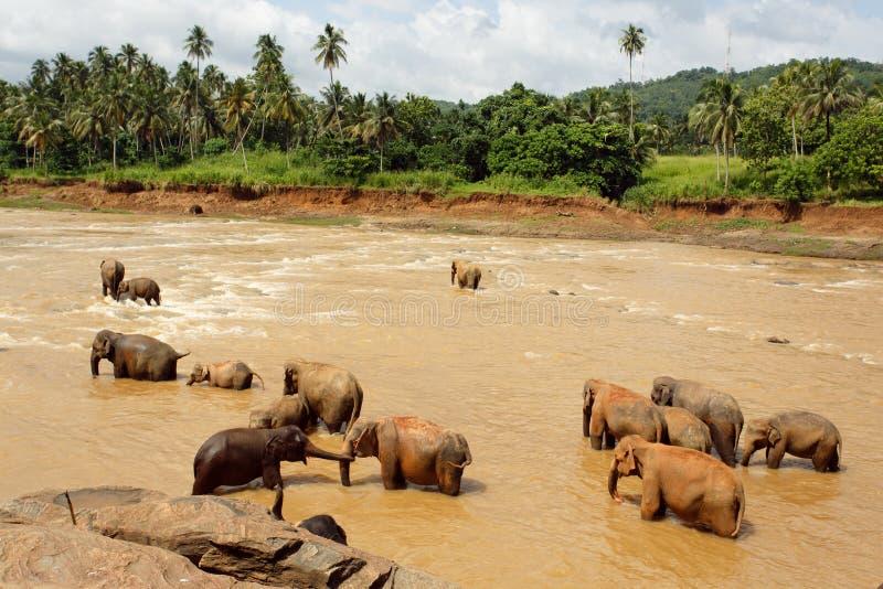 Herde der Elefanten im Fluss stockfotografie