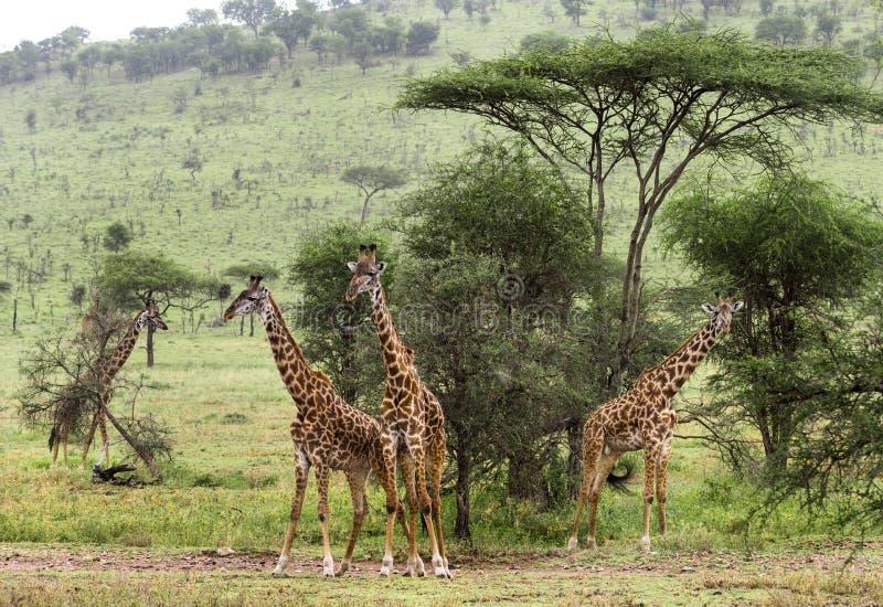 Herde der Giraffe, Serengeti, Tansania stockfotos