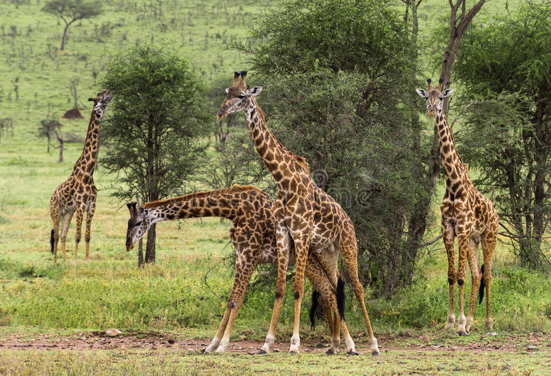 Herde der Giraffe, Serengeti, Tansania stockfoto