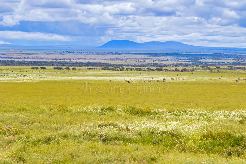 Herde der Gnuzebramigration an Nationalpark Serengeti in Tansania, Afrika stockfotografie