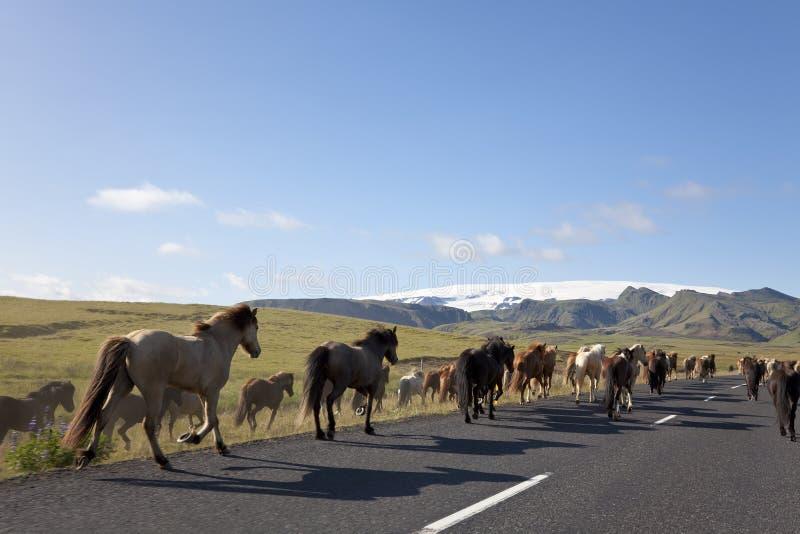 Herde der isländischen Pferde, die hinunter eine Straße laufen lizenzfreie stockbilder