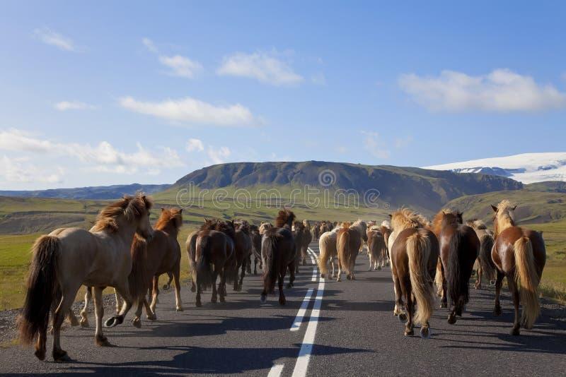Herde der isländischen Pferde, die hinunter eine Straße laufen lizenzfreie stockfotografie