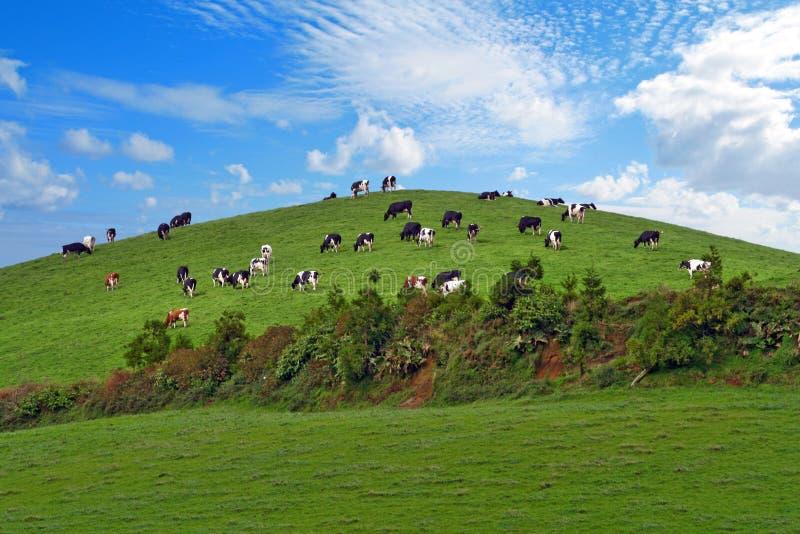Herde der Kühe über grünem Hügel stockfotografie