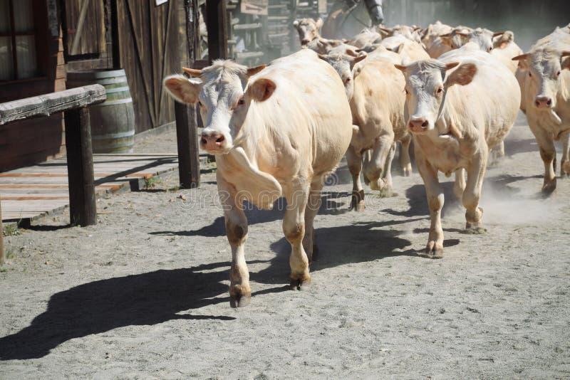 Herde der Kühe lizenzfreies stockfoto