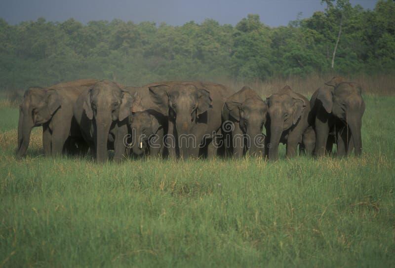 Herde der wilden indischen Elefanten lizenzfreie stockbilder