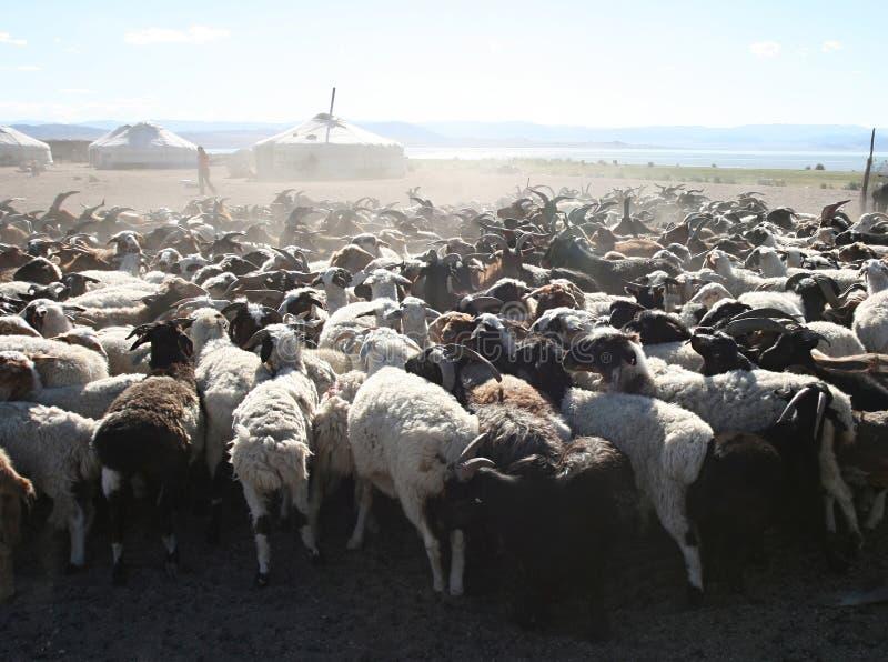 Herde der Ziegen stockfotos