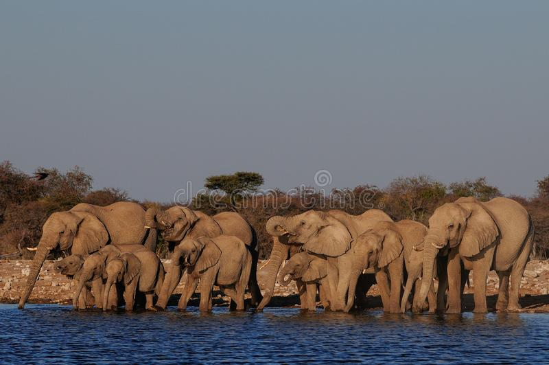 Herde des afrikanischen Elefanten, die auf einem waterhole, etosha nationalpark, Namibia trinkt lizenzfreie stockfotos